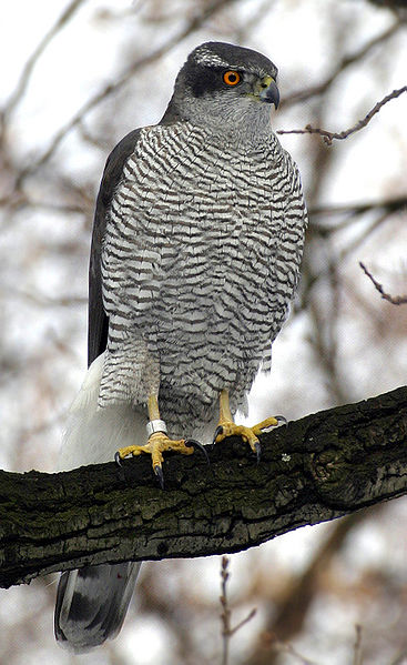 A northern goshawk. Image by Norbert Kenntner.