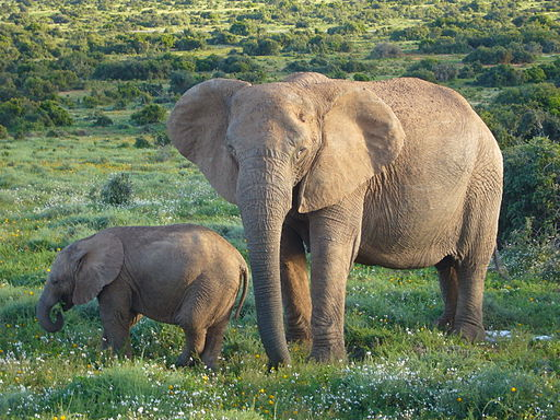 512px-African_Bush_Elephants