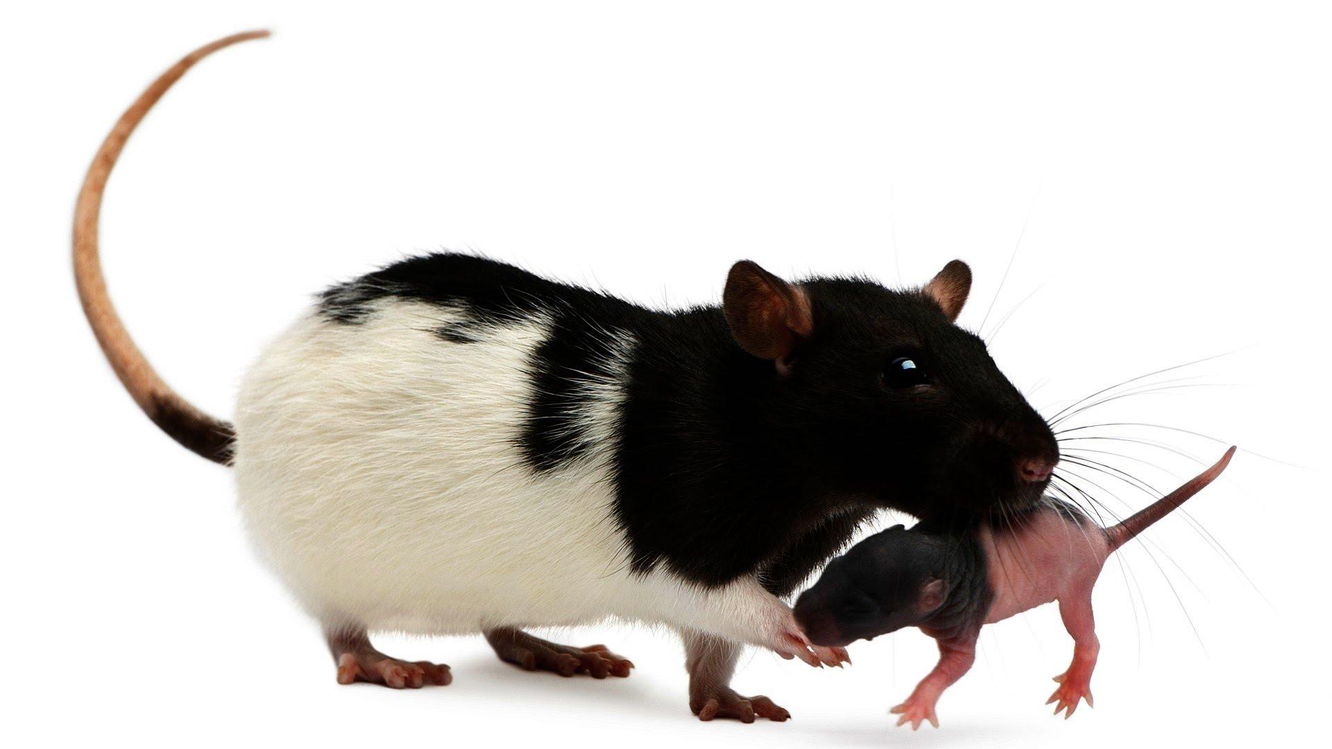 How To Take Care Of Newborn Baby Rats Newborn Baby